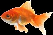 mini goldfish facing left