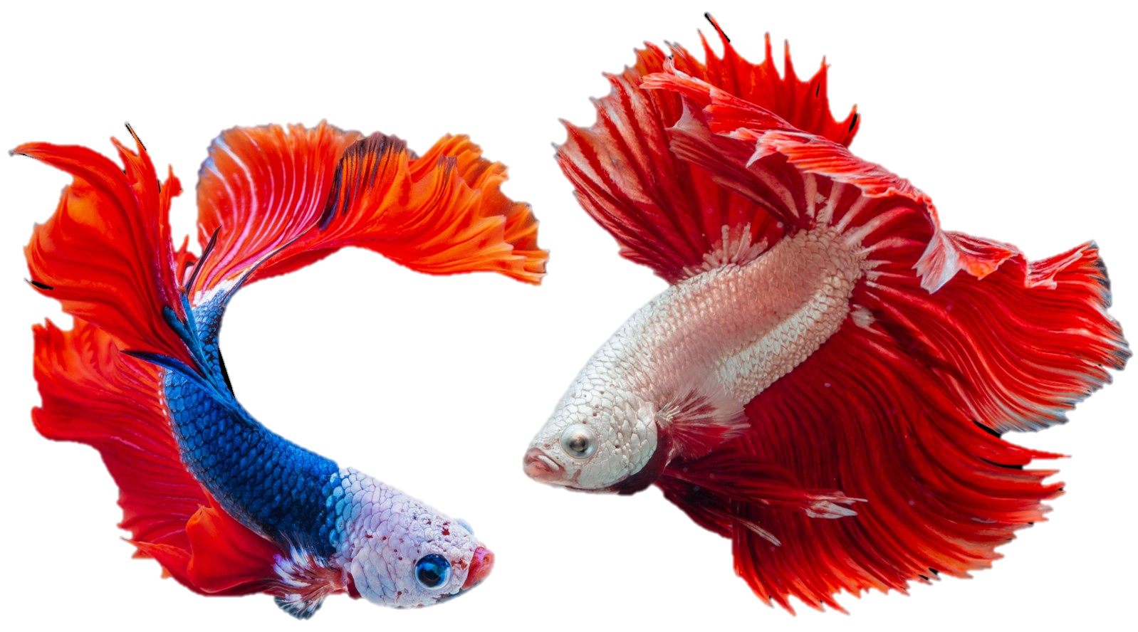 two colorful goldish no background